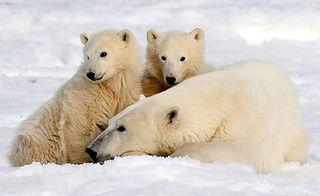 Polarbear2AP0511_468x286