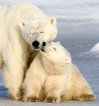 Polarbear1AP0511_468x502